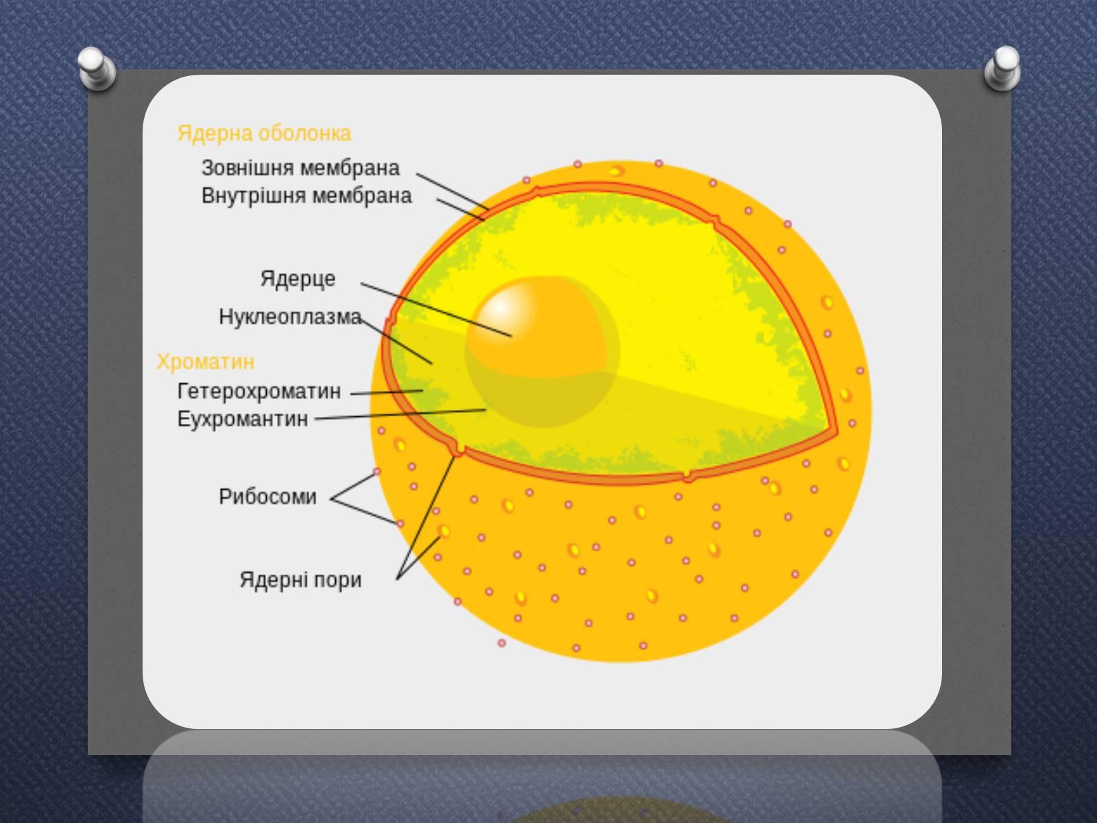 рекомендуется ядро картинка по биологии теперь, всем срочно