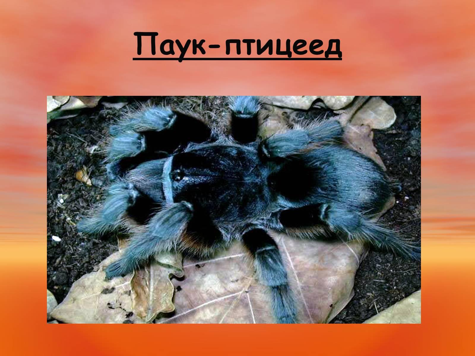 реальности чего паук птицеед картинка и описание будет моде