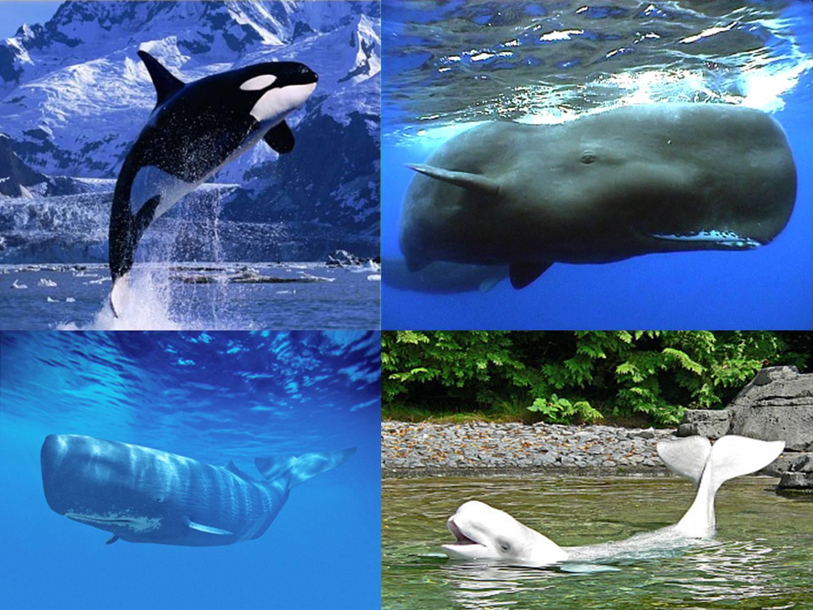 картинки отряд китообразные это первейший