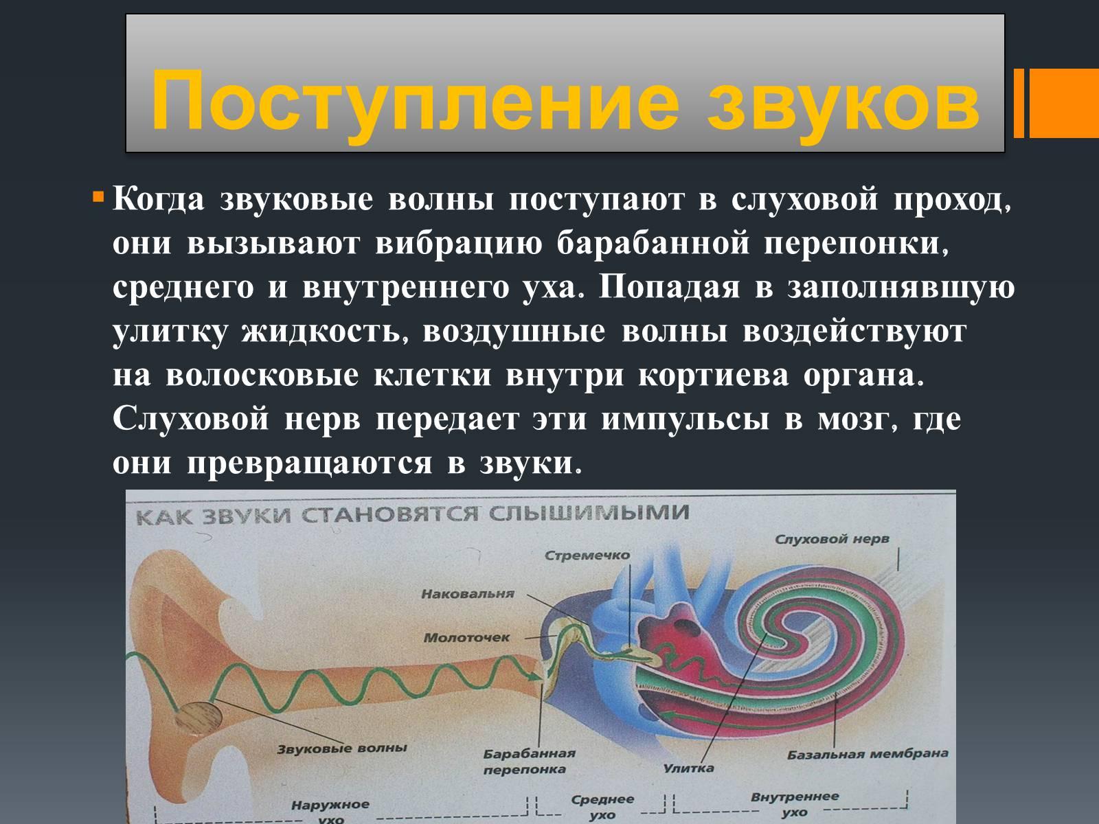 Схема распространения звуковых колебаний в слуховом анализаторе Слуховой анализатор Мир Психологии