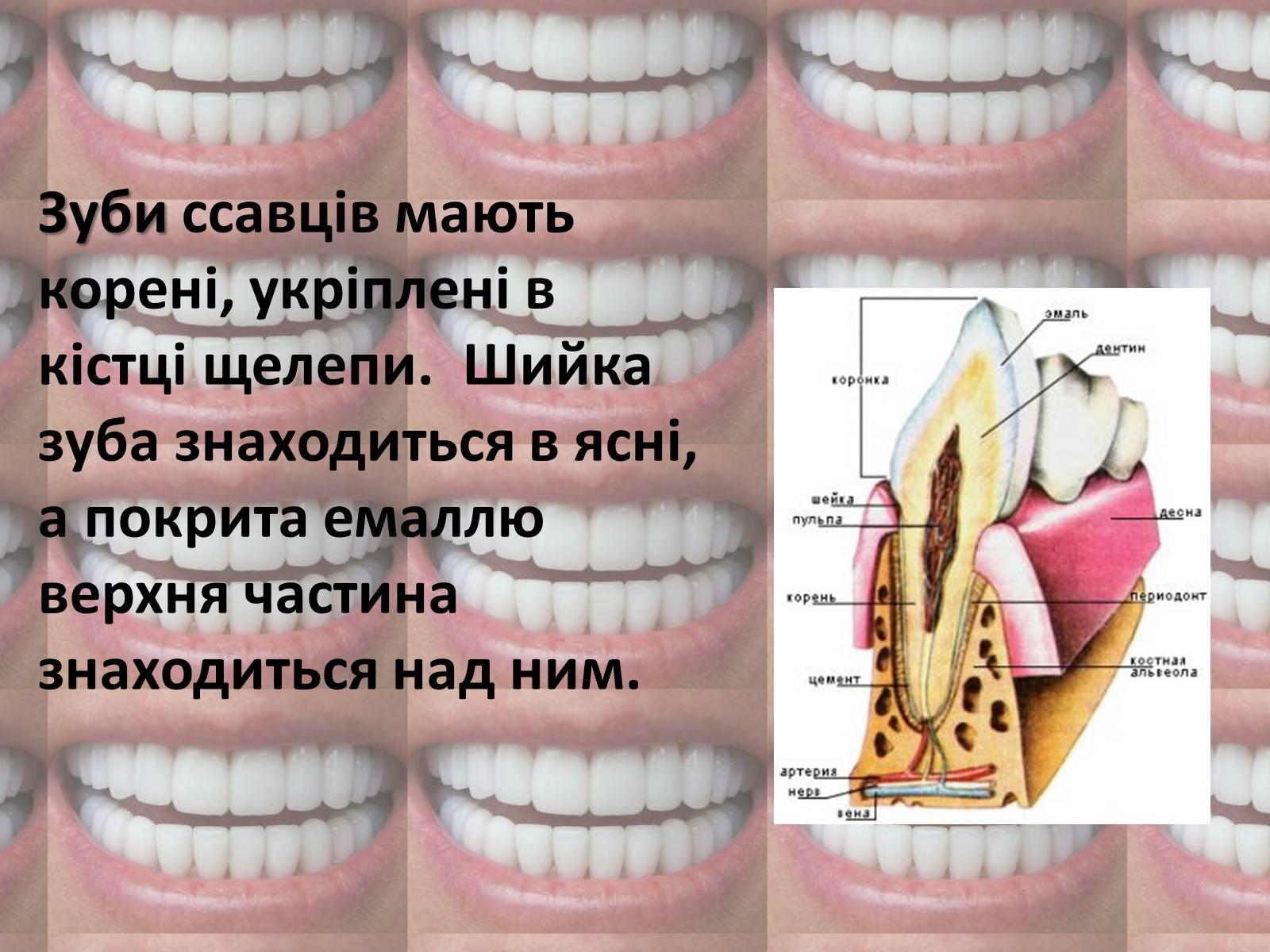 Презентація на тему Зуби (варіант 2) — презентації з біології  5dc2807872f46
