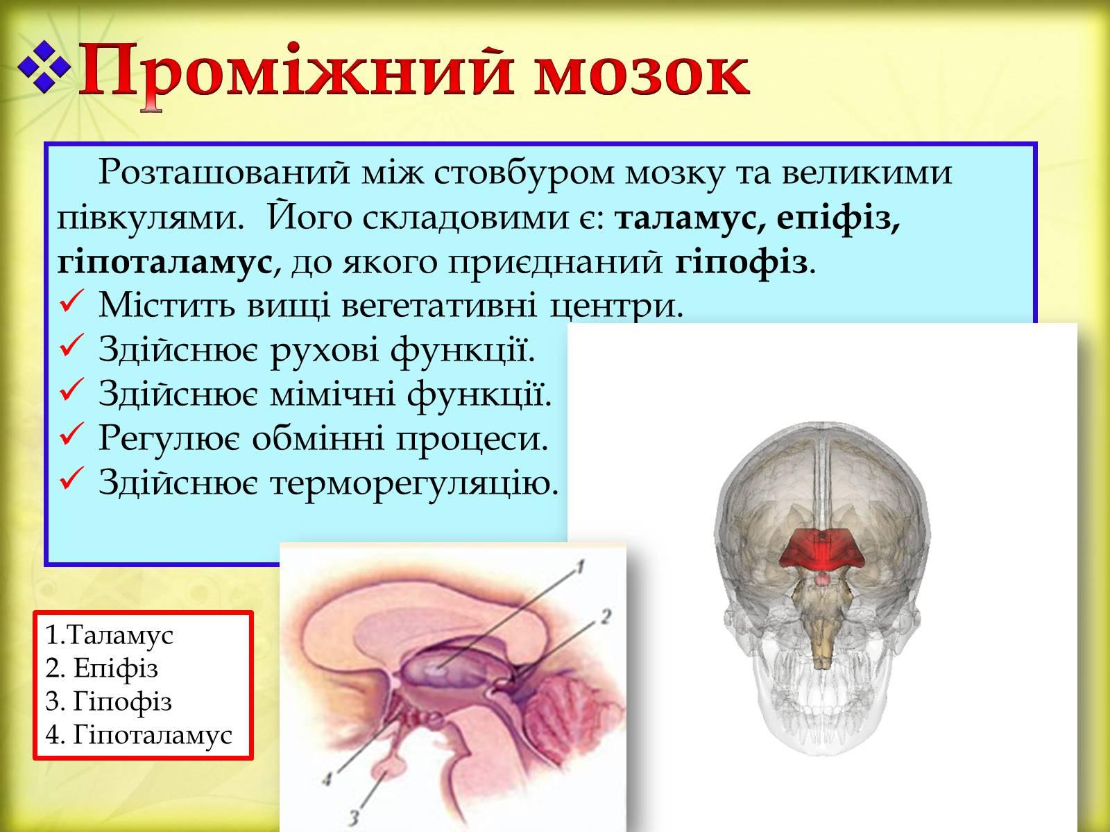 Проміжний мозок розташований під мозолистим тілом, складається з таламуса, епиталамуса, метаталамуса і гипоталамуса.